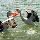 Pelican fight / Urunga NSW by Carol Smith
