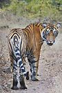 Young Male Tiger by Carole-Anne
