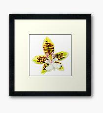 Orchid flower Oncidium Leucochilum Framed Print