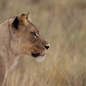 Lioness isolated fro back ground by AdelevS19
