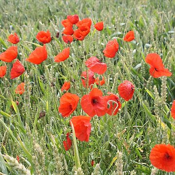 Cornfield Poppies by GCooles