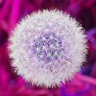 Vibrant Pink Dandelion Clock Flower by GeeWhizArt