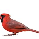 Northern Cardinal Isolated on White Background by Bonnie T.  Barry