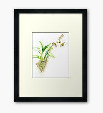 Oncidium Leucochilum orchid botanical watercolor painting Framed Print