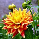 Yellow & Red Dahlia - NZ by AndreaEL