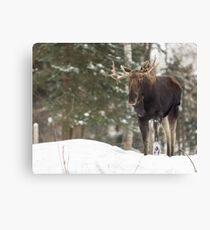 Bull moose in winter Canvas Print