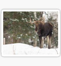 Bull moose in winter Sticker