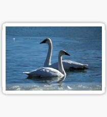 Two Swans Sticker