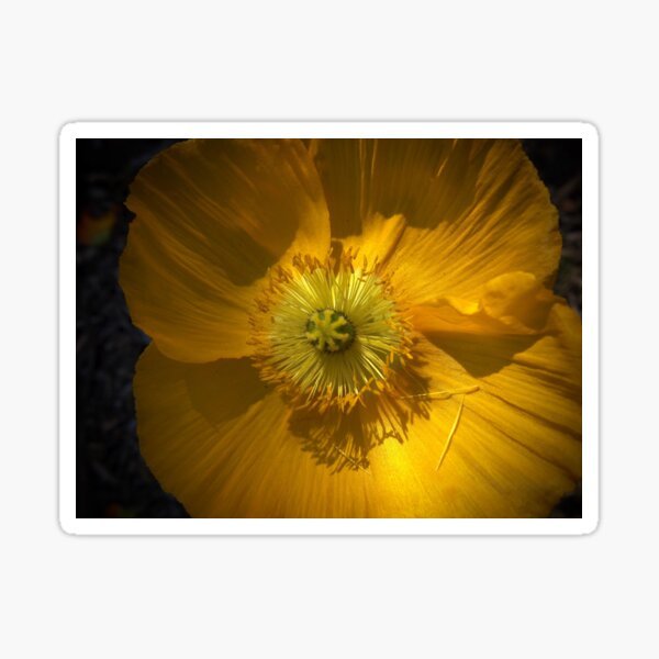 Golden Poppy in the Sun Sticker