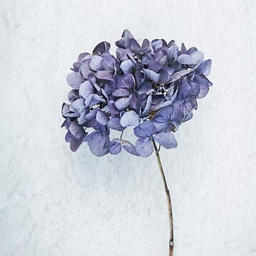 Dried blue hydrangea by mariaheyens