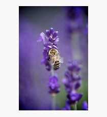 Little Bee in Lavender Photographic Print