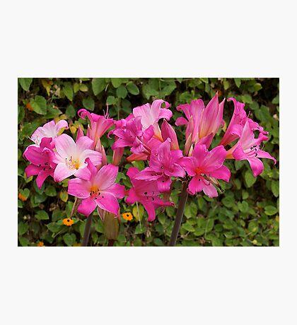Belladonna (beautiful lady) flowering. Photographic Print