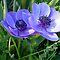 Beautiful Anemone or Allium