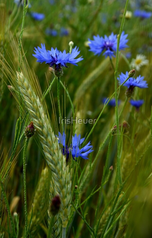 Cornflowers / Cornflowers by IrisHeuer