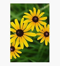 Black eyed Susans by bs hilton Photographic Print