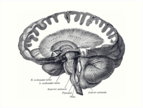 Vintage Brain Anatomy\
