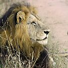 Mapogo male lion(This is my best side!) by Anthony Goldman