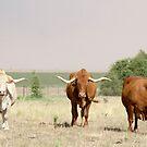 Afrikaner Ox von Madcowontherun