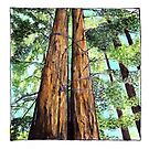Redwoods for Emma, drawing and watercolor by danvera