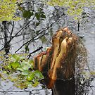 Cypress Knees by Imagery