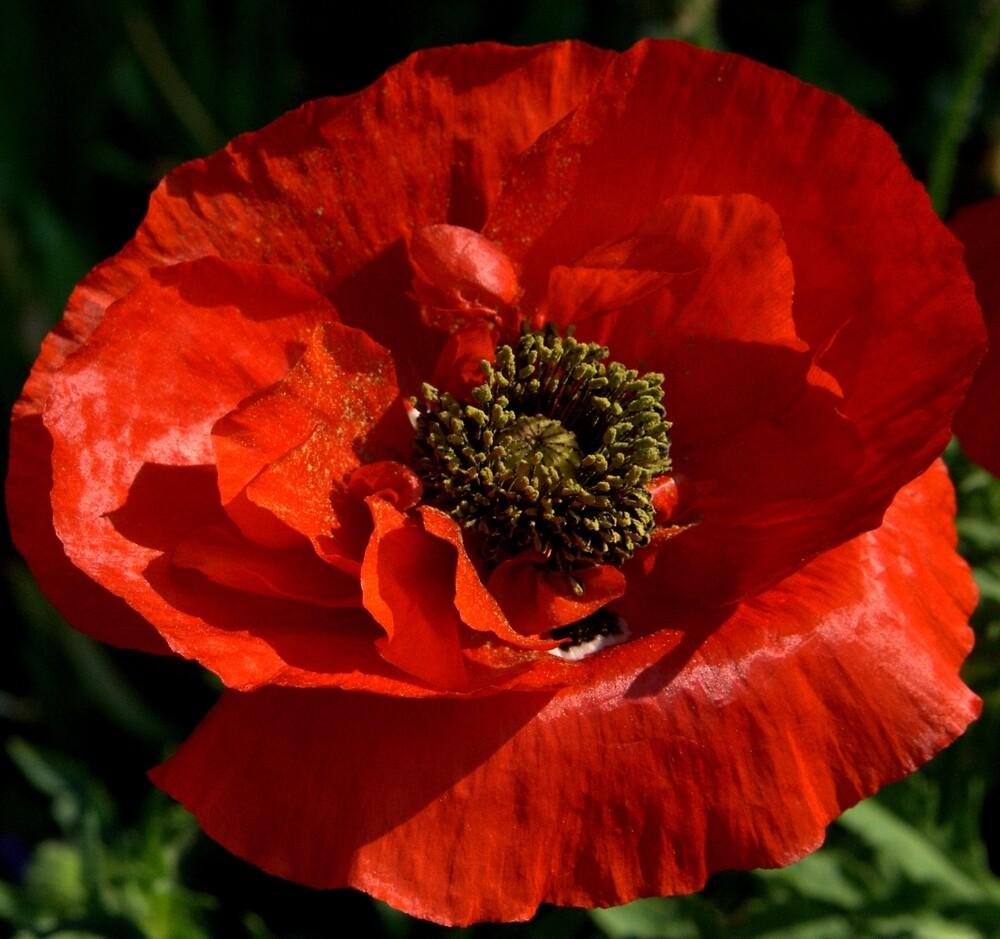Red Poppy by Sheri Ann Richerson