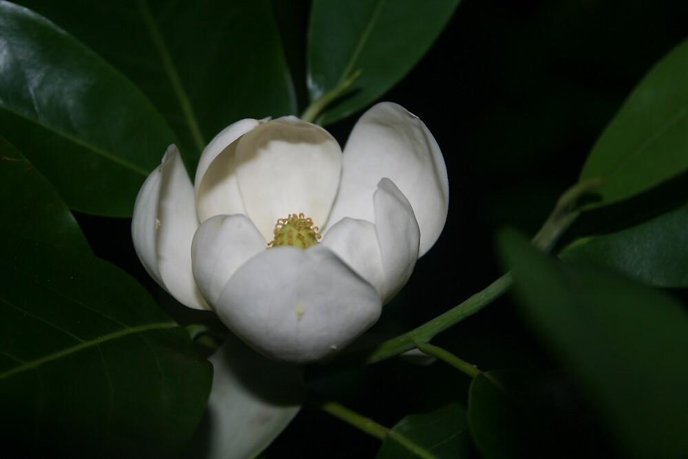 Southern Magnolia Blossom by Sheri Ann Richerson