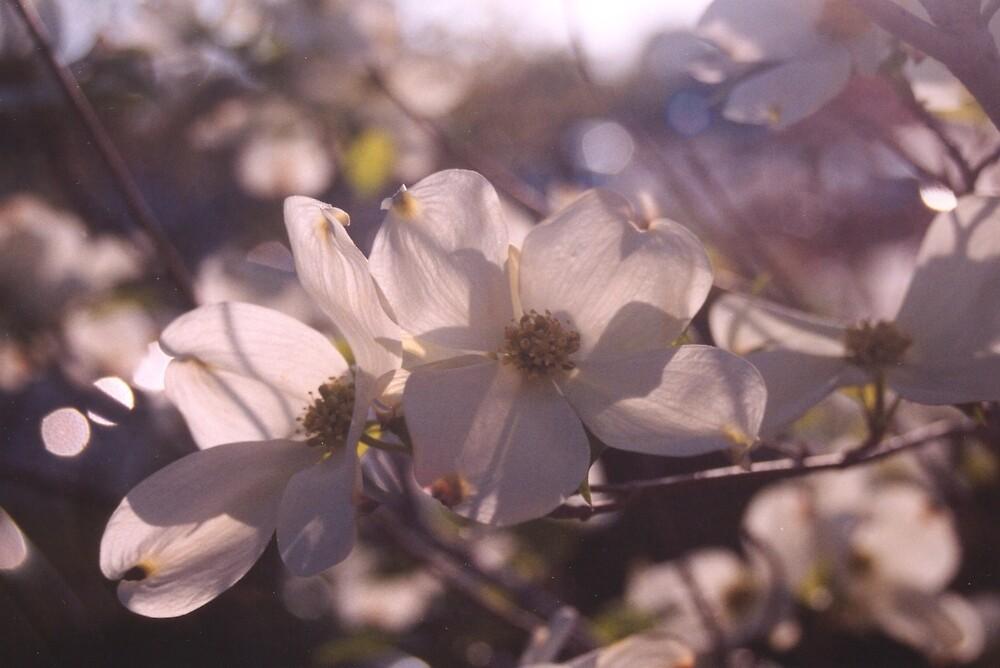Dogwood in bloom. by Sheri Ann Richerson