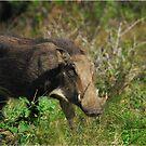 Warthog by Heather Thorsen