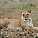 WATCHING - The lioness -  Panthera leo by Magriet Meintjes