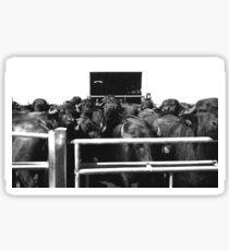 Buffalo shower in their farm holding pen Sticker
