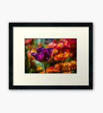Magenta Tulip 1 Framed Print
