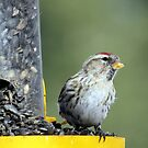 Common Redpoll by Rochelle Smith