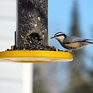Redbreasted nuthatch by Rochelle Smith