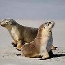Seal Pups by Candy Jubb