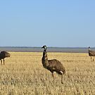 Emu on the Hay Plains by Candy Jubb