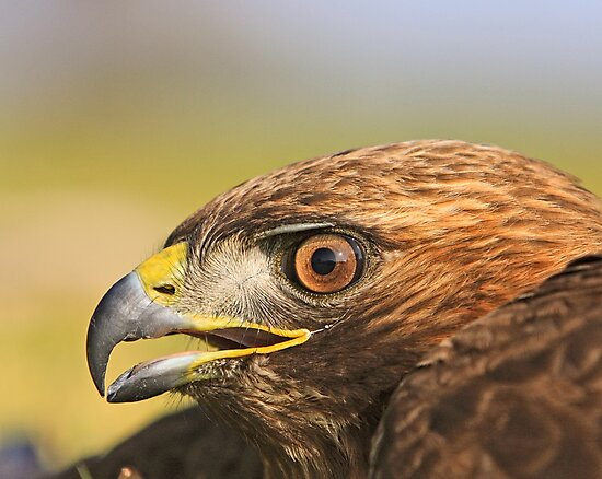 Red Tail Hawk - Family:  Accipitriformes by Buckwhite