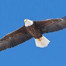 Adult Bald Eagle by DigitallyStill