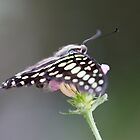 butterfly on flower by spetenfia