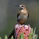 Sweet Nectar by Macky