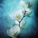 Orchid by Cliff Vestergaard
