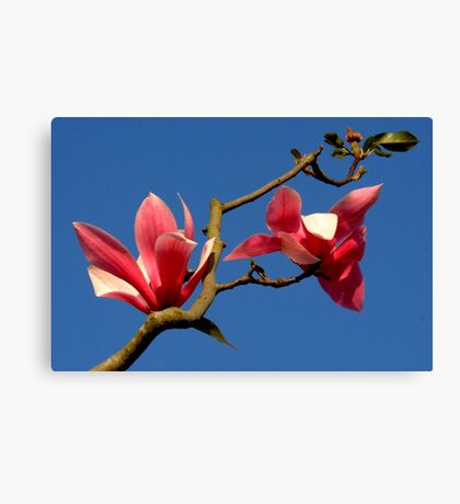 Blooming Magnolia Tree Canvas Print
