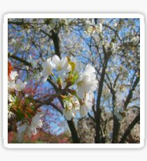 White Cherry Blossoms Sticker