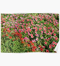 Field of beautiful red flowers. Poster