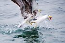 Winner takes all - Pacific Gulls by Ian Berry