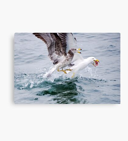 Winner takes all - Pacific Gulls Canvas Print