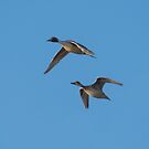 Northern Pintails In Flight by Deb Fedeler