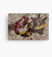 Flamboyant Cuttlefish, Kapalai, Sabah, Malaysia Metal Print