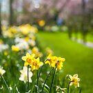 Spring Daffodils in Keukenhof Garden by JennyRainbow