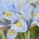 Bunch of Blue Mini Irises  by JennyRainbow