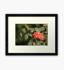 Orange Rose with blurred background Framed Print